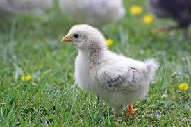 Pollo low cost: la carne a basso costo ha un prezzo elevato per gli animali