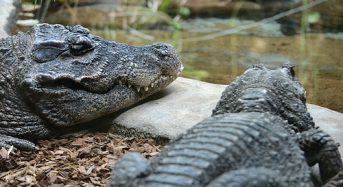 Uno studio sul 'crocodile gambling' vince un Ig Nobel