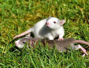 4 rats-1388830_1920