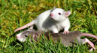 Le conseguenze dell'infestazione di ratti che tutti devono conoscere